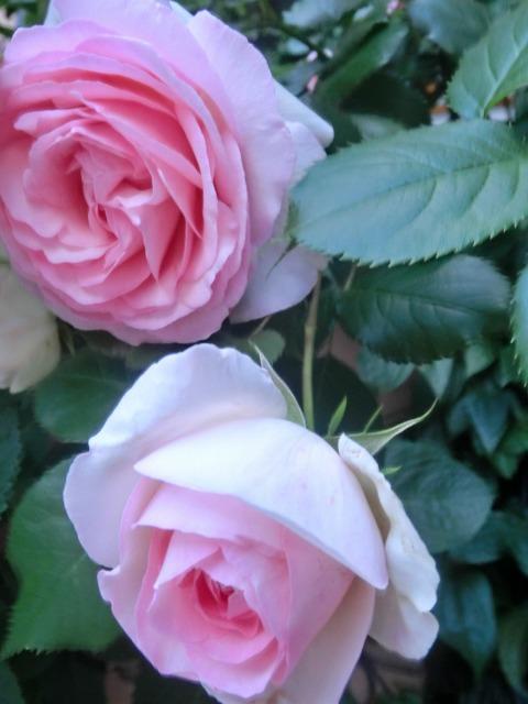 20130519SHOP Rose (9)