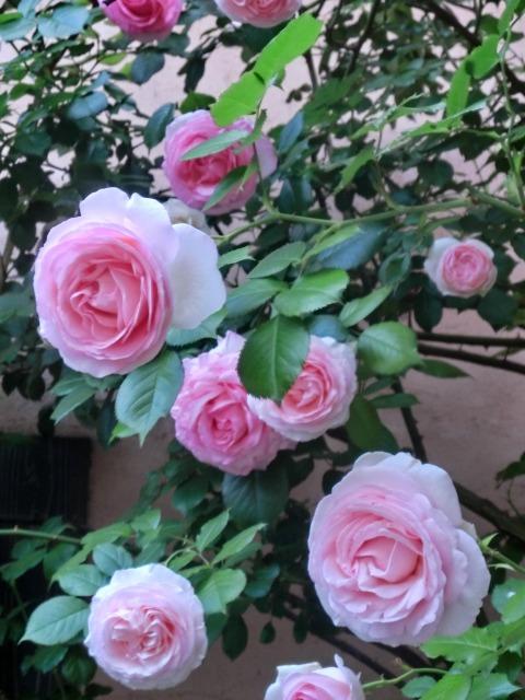 20130519SHOP Rose (8)