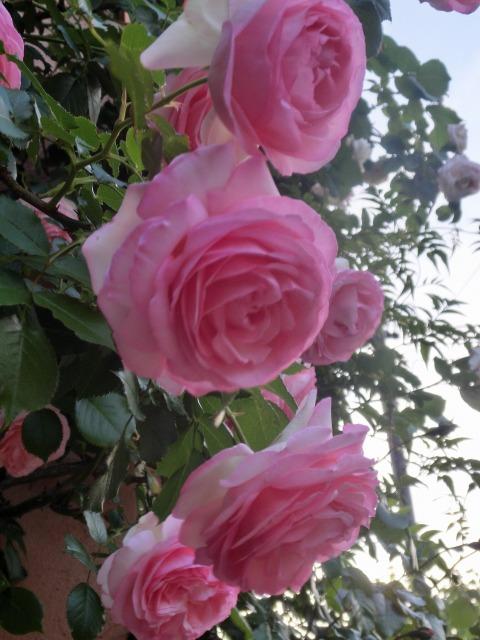 20130519SHOP Rose (7)