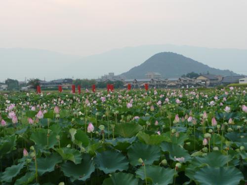 藤原京の蓮と畝傍山
