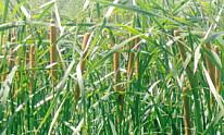 佐鳴湖・蒲の穂