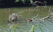 佐鳴湖・鴨の群