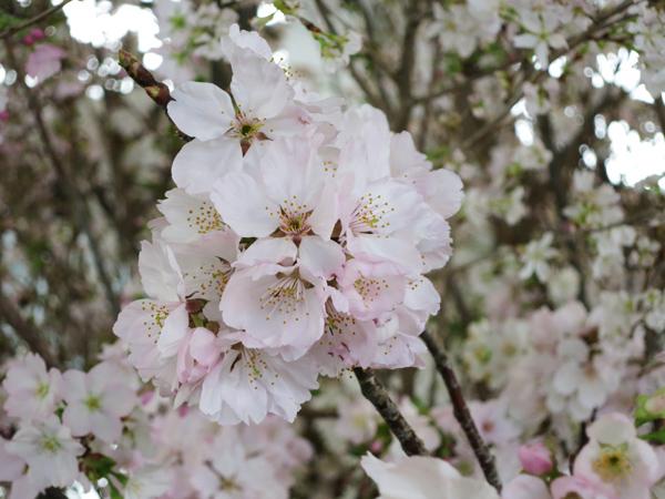 滝野スノーワールド 早春のフラワーギャラリー 桜