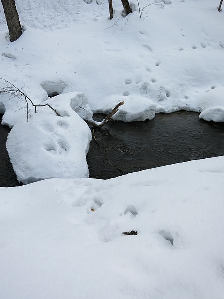 アシリベツ川 クマの足跡?