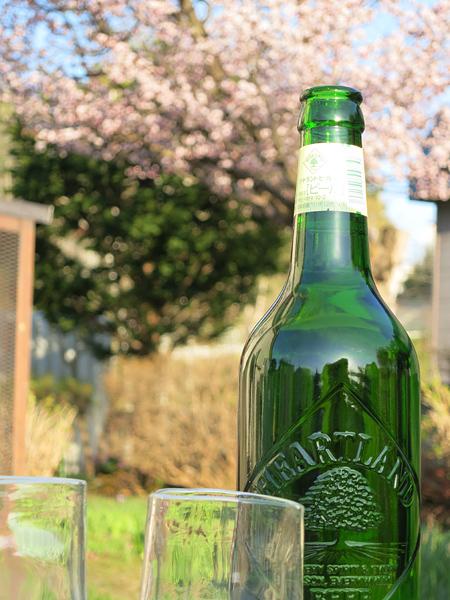 満開の桜 ハートランドビール