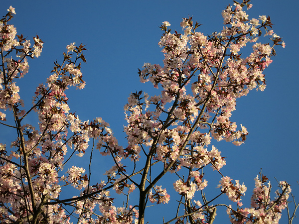 桜 満開 茜色