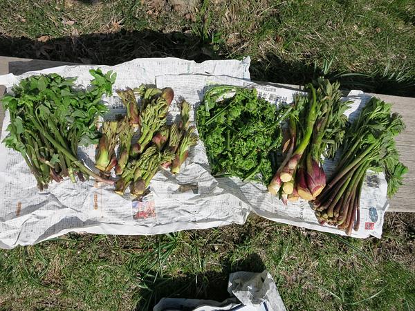 山菜 モミジガサ タラの芽 コゴミ ウド アイコ