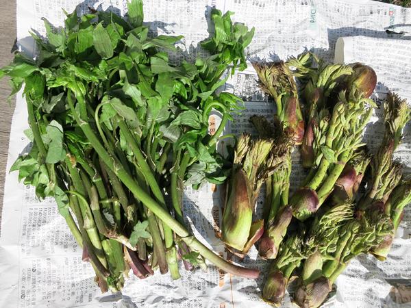 山菜 モミジガサ タラの芽