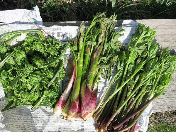 山菜 コゴミ ウド ミヤマイラクサ