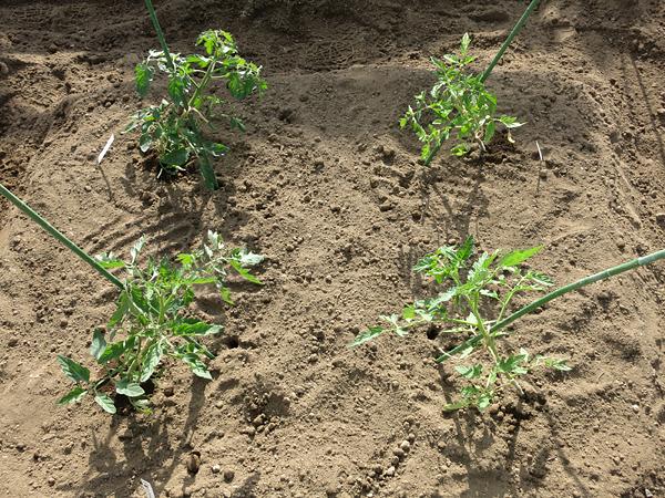 2013 家庭菜園 トマト四種