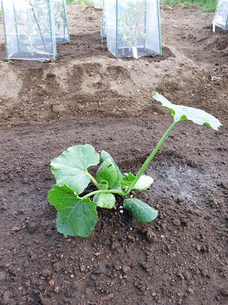 2013 家庭菜園 ズッキーニ