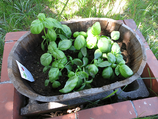 2013 家庭菜園 バジル
