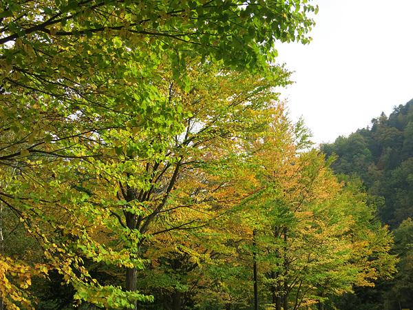 定山渓ダム下流園地 カツラの紅葉