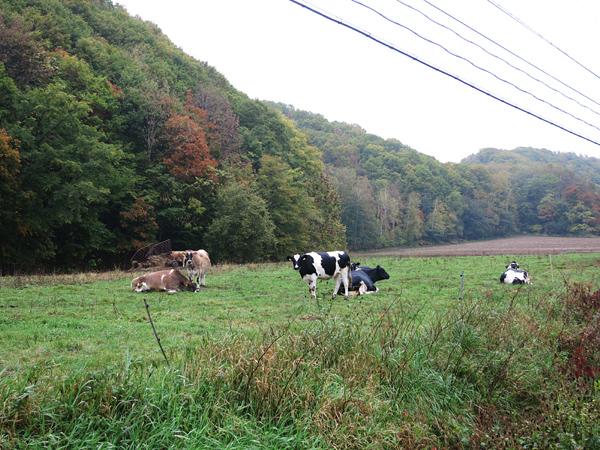幸せな牛のミルク 牛