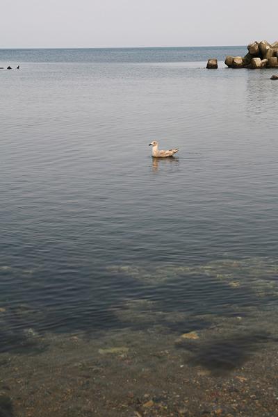 朝里海岸 カモメ