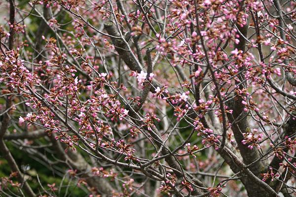 蝦夷山桜 開花 2013