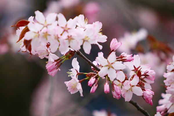 蝦夷山桜 2013 五分咲き