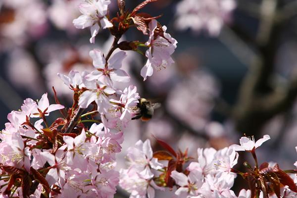 蝦夷山桜 満開 2013