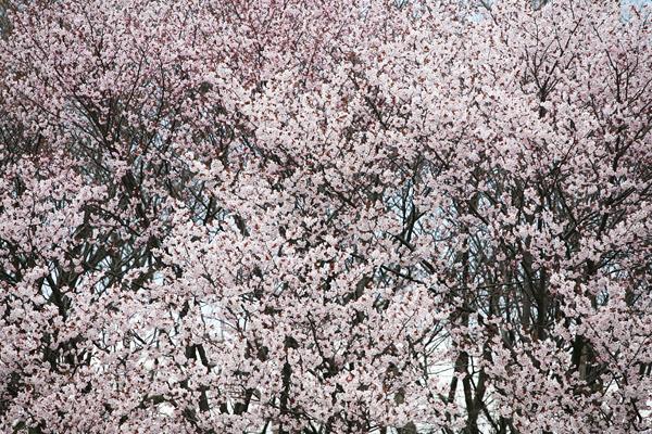 真駒内公園 春 満開の桜