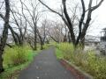 151115玉川沿いの桜並木を進む