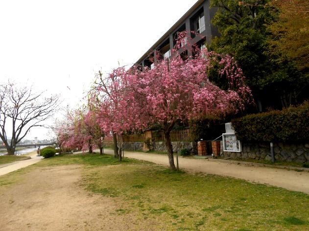 sakura-N2544.jpg