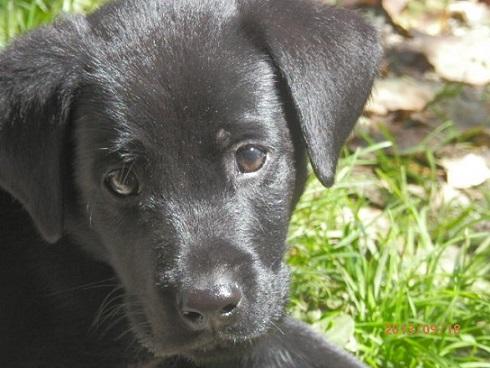 黒ラブ犬 「まめ」