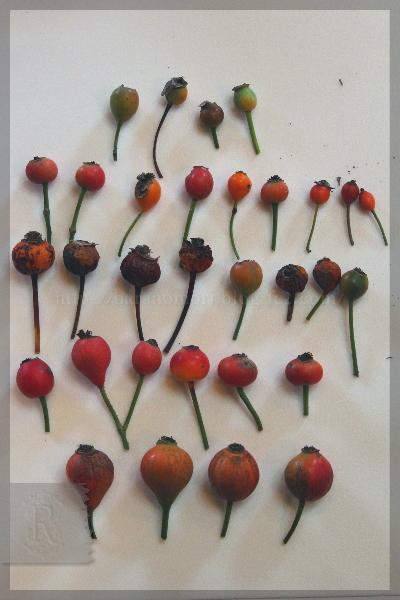 バラの交配 2013年種