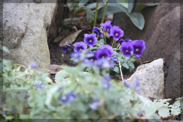 庭の花 ビオラ 20131204