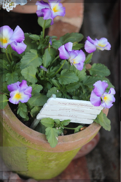 庭の花 ビオラ モスポット 20131204