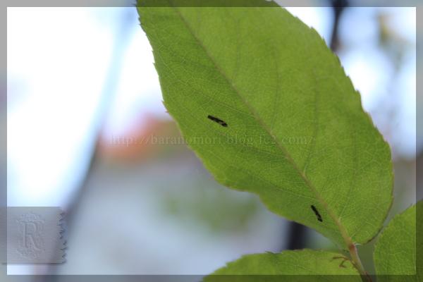 害虫 シロズヒメヨコバイ 20131205