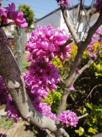 ハナズオウの花 4月中旬