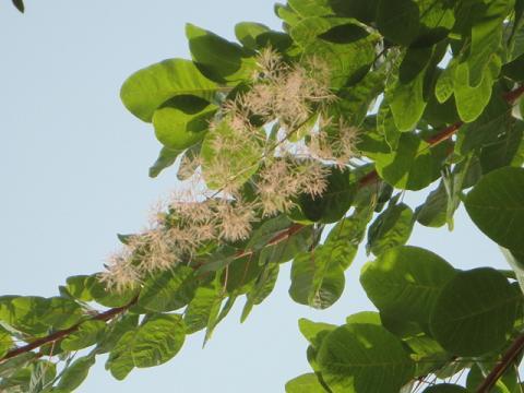 スモークツリーの花?つぼみ?