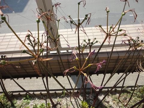 2週間で花は全部終わっていました
