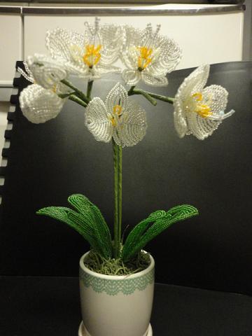 ミニ胡蝶蘭の白①