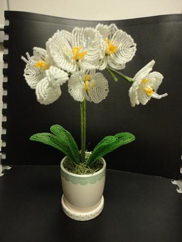 ミニ胡蝶蘭の白④