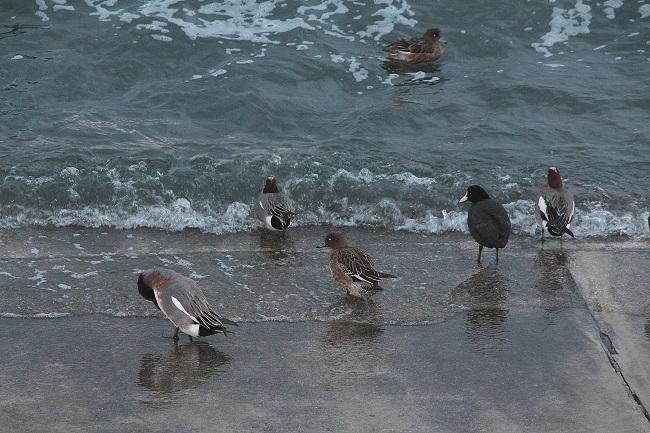 バン(黒)と鴨 バンは水中に暫く潜って餌を摂る・・・