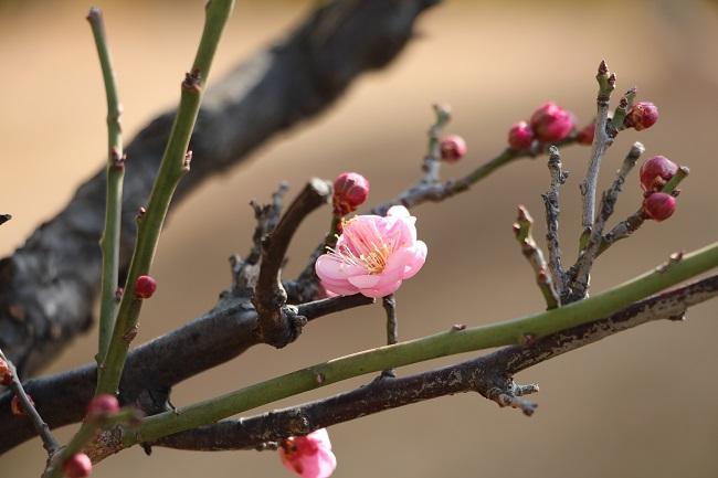 初咲き 一輪