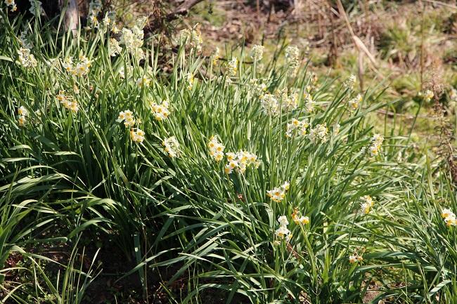 土手に咲くスイセンも満開 今年で初めて翡翠を見た