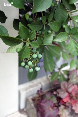 ヘンリーヅタの実が赤くなりだす。