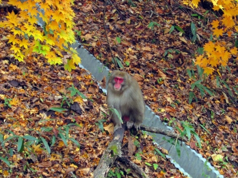 44川俣温泉の猿