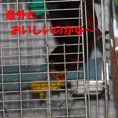 7_ピンナトウモロコシ