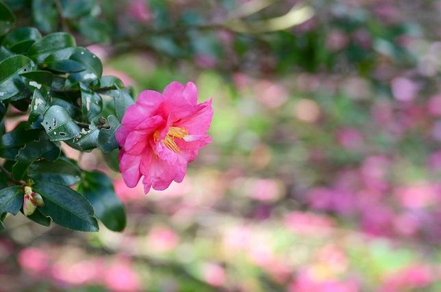 山茶花が咲くころ(1)