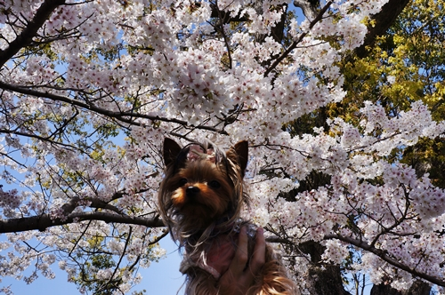 0ボイ君と桜