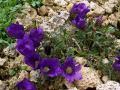 Edraianthus_serpyllifolius[1]