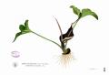800px-Typhonium_roxburghii_Blanco2.330[1]
