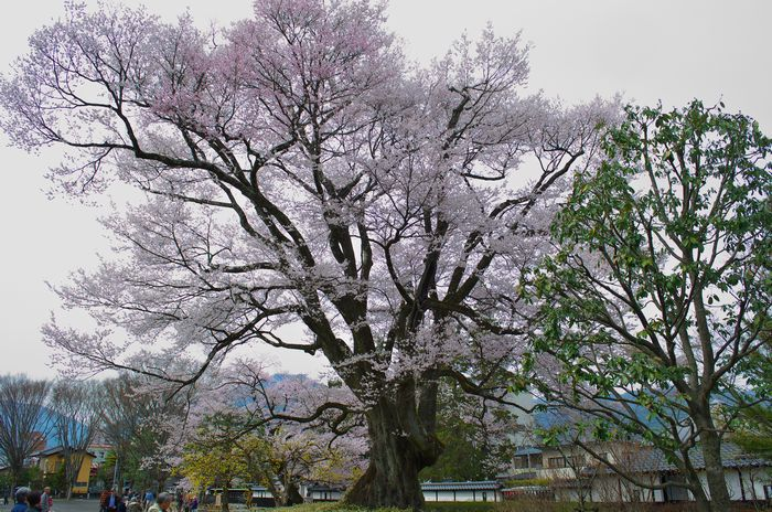 13-4-1-1安富桜