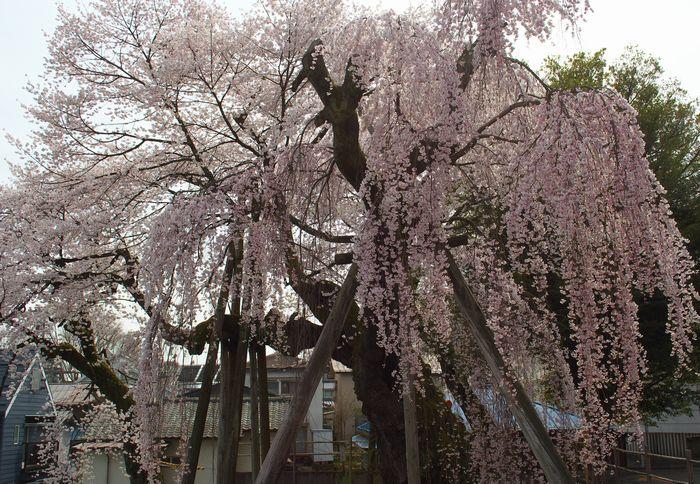13-4-3-1夫婦桜