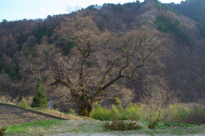 13-4-7-1駒つなぎの桜