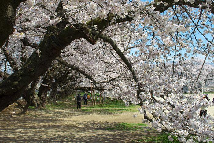 13-4-9-1高森南小の桜