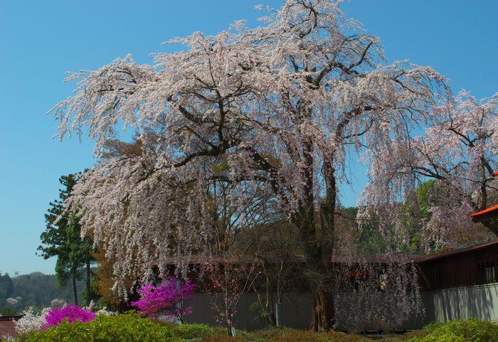 13-4-13-1元善光寺境内の桜